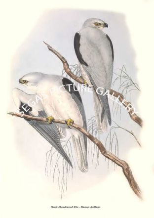 Black-Shouldered Kite - Elanus Axillaris
